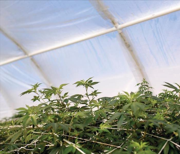 Marijuana growing inside a white tent